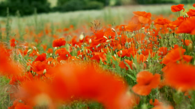 poppies nod their heads in a breeze. - poppy plant stock videos and b-roll footage