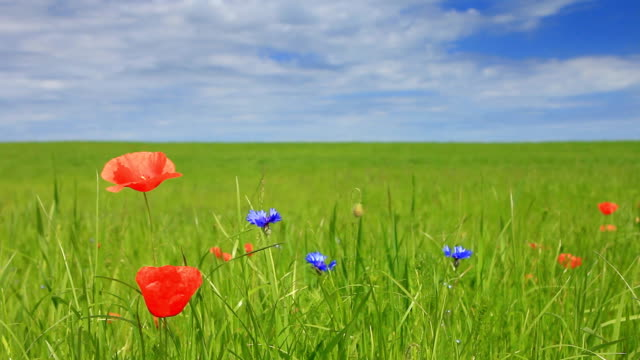Poppies auf Wiese
