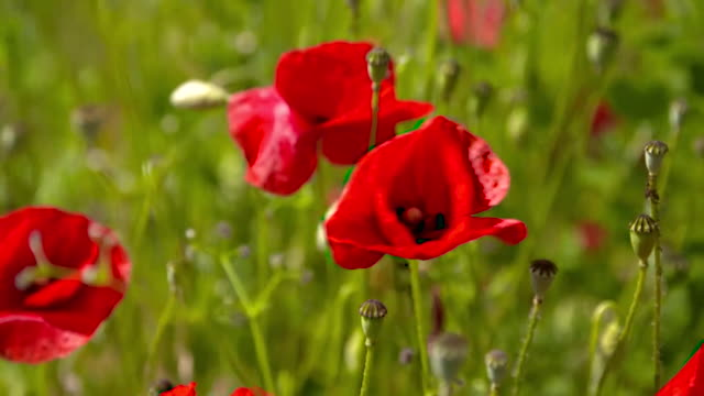 cu poppies - pollination stock videos & royalty-free footage