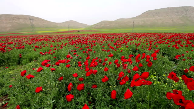 hd: poppies - poppy plant stock videos and b-roll footage