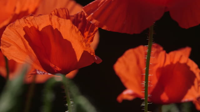 poppies - armistice day stock videos and b-roll footage
