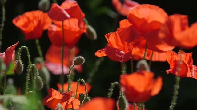 poppies - remembrance day stock videos & royalty-free footage