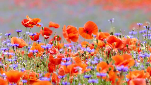 poppy and cornflowers - telephoto lens stock videos and b-roll footage