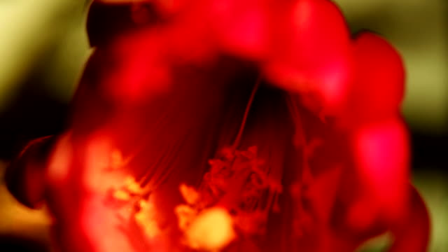 a poppy blooms. available in hd. - poppy plant stock videos and b-roll footage