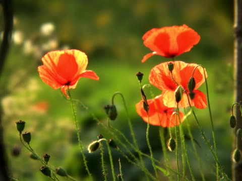 pal: poppy bud - saturated colour stock videos & royalty-free footage