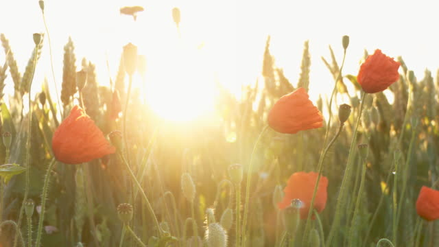 hd dolly: poppy field against sunlight - wildflower stock videos & royalty-free footage