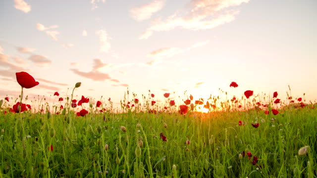 ms ds poppy field against the sun - springtime stock videos & royalty-free footage