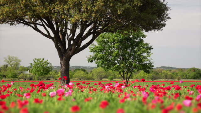 poppy field and tree during spring in texas - wildflower stock videos & royalty-free footage