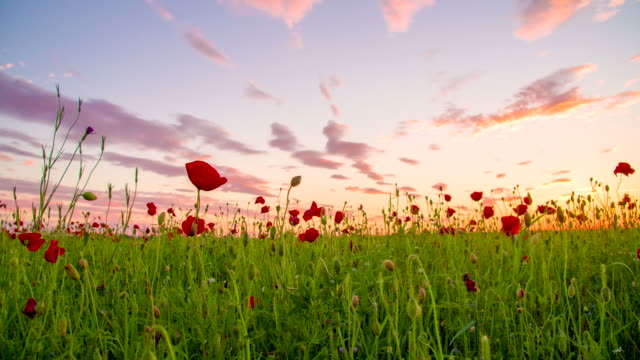 ws ds poppy field at dusk - poppy plant stock videos and b-roll footage