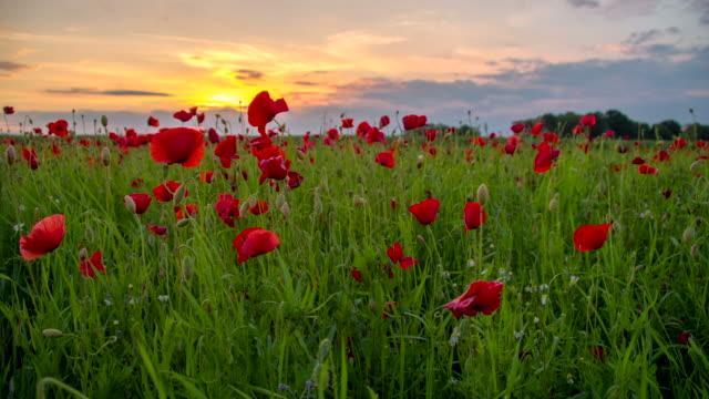 stockvideo's en b-roll-footage met ws ds poppy field at dusk - weide