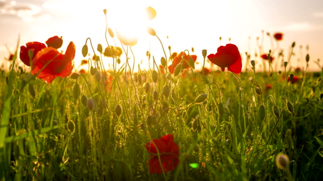cu ds poppy field at sunset - beauty in nature stock videos & royalty-free footage