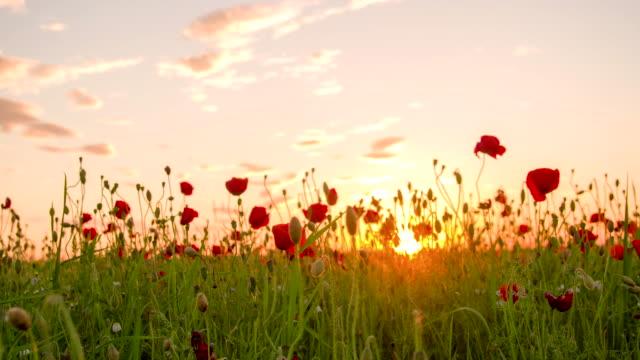 vidéos et rushes de ms ds champ de coquelicots au coucher du soleil - fleur sauvage