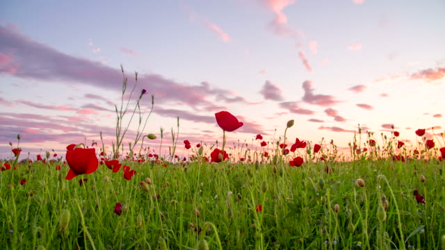 WS DS Poppy Field At Sunset