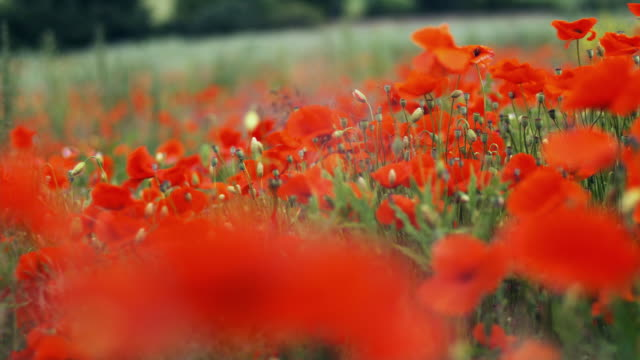 cu, selective focus, pan, poppy field, black forest (schwarzwald), germany - poppy plant stock videos and b-roll footage