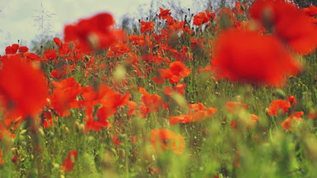 cu, r/f, poppy field, black forest (schwarzwald), germany, - poppy plant stock videos and b-roll footage