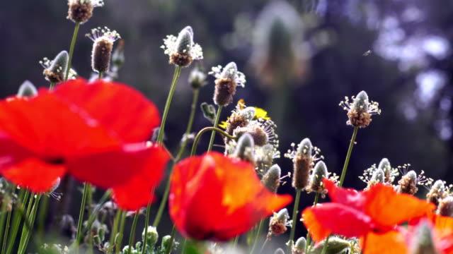 Poppy field details - Plantago ovata and poppies.