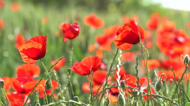 vídeos y material grabado en eventos de stock de los detalles del campo poppy - pétalo