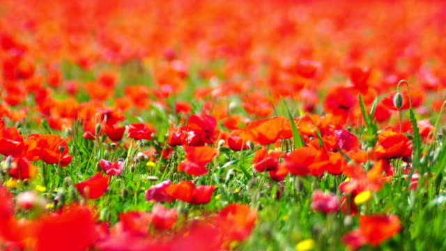 poppy field details - poppy plant stock videos and b-roll footage