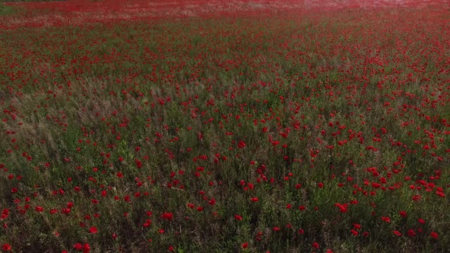 a poppy field in the south of france - poppy stock videos & royalty-free footage