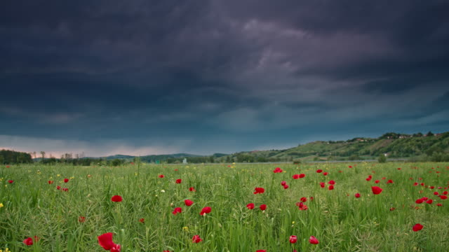 ds poppy field in the storm - dramatic sky stock videos & royalty-free footage