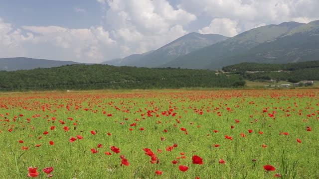 vídeos de stock, filmes e b-roll de poppy field in the valnerina, umbria, it. - umbria