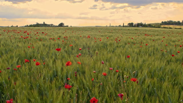 ds poppy field in tuscan countryside - poppy plant stock videos and b-roll footage