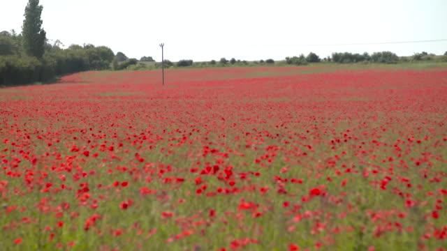 poppy field, norfolk - flowerbed stock videos & royalty-free footage