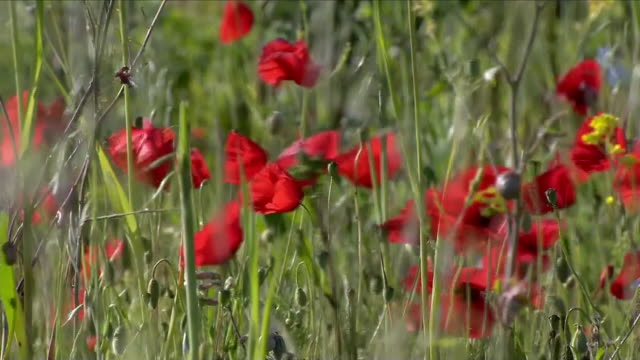 poppy field - remembrance day stock videos & royalty-free footage