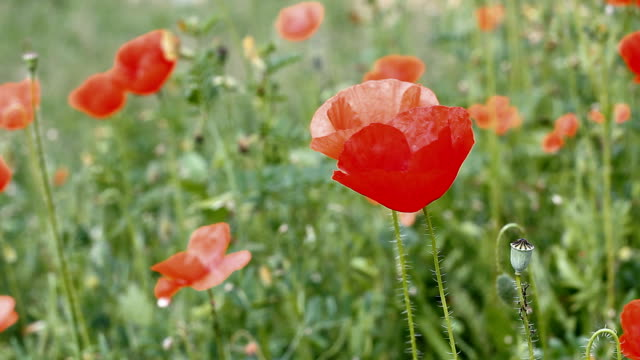 poppy field - rx stock videos & royalty-free footage