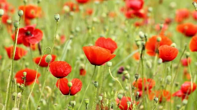 poppy field - poppy stock videos & royalty-free footage