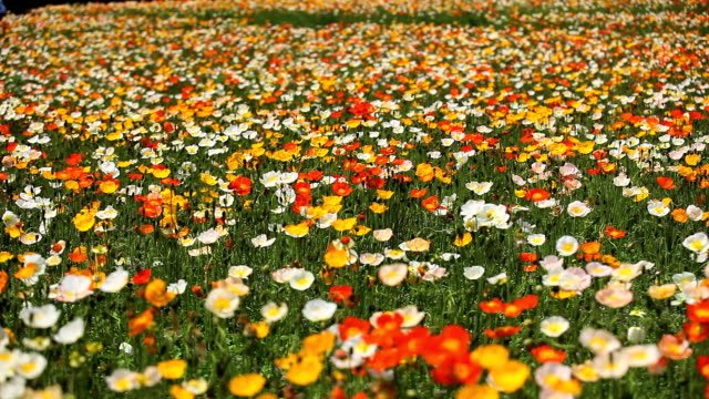 poppy field - meadow stock videos & royalty-free footage