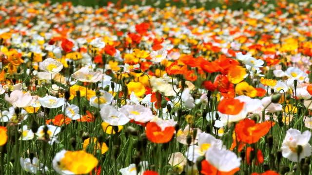poppy field - plusphoto stock videos & royalty-free footage