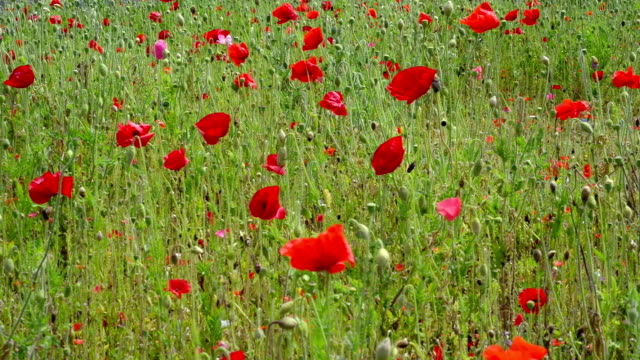 poppy field - remembrance sunday stock videos and b-roll footage