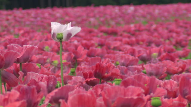 vidéos et rushes de poppy field - sortir du lot