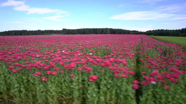 stockvideo's en b-roll-footage met poppy field - meer dan 40 seconden