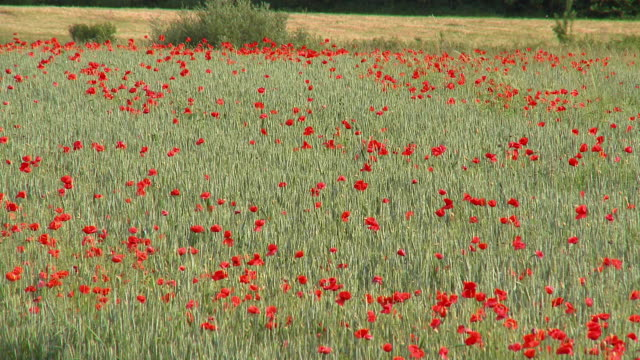 ms poppy field, vrhnika, slovenia - vrhnika stock videos & royalty-free footage