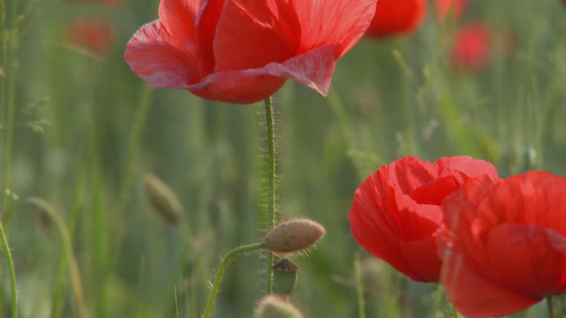 cu tu selective focus poppy field, vrhnika, slovenia - vrhnika stock videos & royalty-free footage