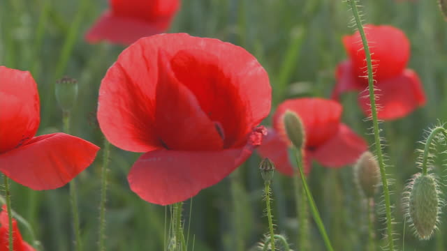 cu selective focus poppy field, vrhnika, slovenia - vrhnika stock videos & royalty-free footage