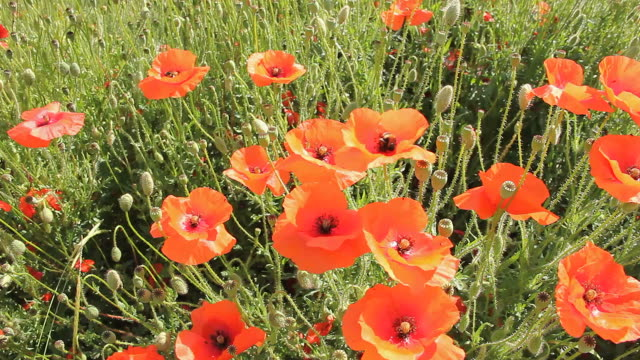 poppy field with bumblebees - bumblebee stock videos & royalty-free footage