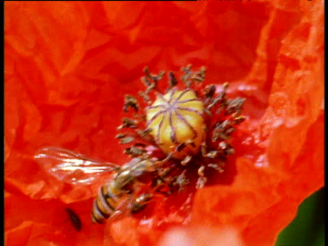 poppy flower and hover fly feeds, then tilt up to reveal huge field of poppies in summer, uk - armistice stock videos & royalty-free footage