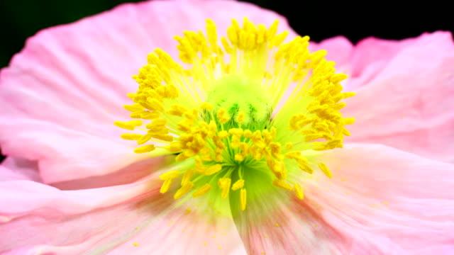 Klaproos bloem bloeien van 4K