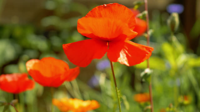 poppy flower in the wind - flowerbed stock videos & royalty-free footage