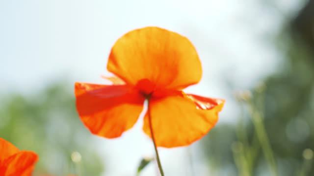 poppy flower in the wind - poppy stock videos & royalty-free footage