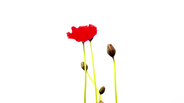 poppy flower - poppy plant stock videos and b-roll footage