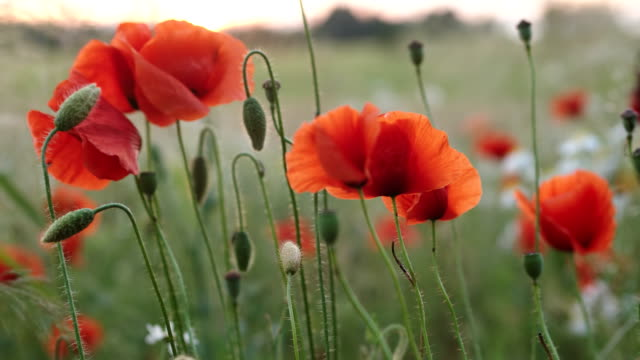 poppy flower - zoom in - recreational drug stock videos & royalty-free footage