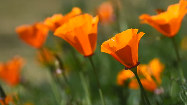 poppy flowers and bee - poppy plant stock videos and b-roll footage