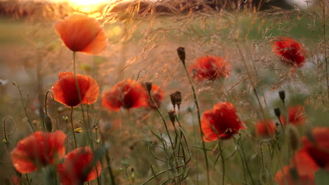poppy flowers and sunset - recreational drug stock videos & royalty-free footage