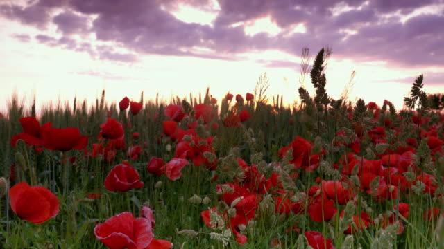 日の出のケシの花