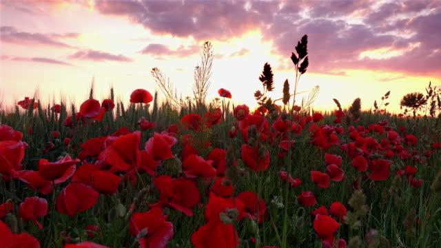 Poppy Flowers At Sunrise