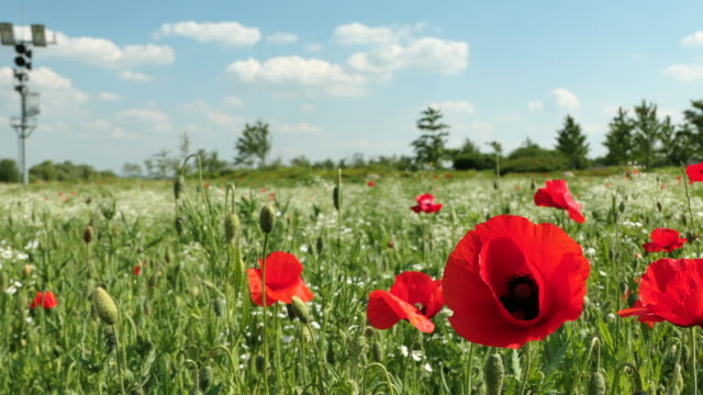vídeos de stock e filmes b-roll de poppy flowers / dangnamriseom island, yeoju-si, gyeonggi-do, south korea - pistilo